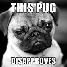 Pug disapproves