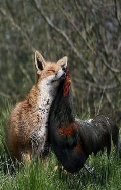 Strange love.  Fox & Rooster . . . . this really is an ODD friendship