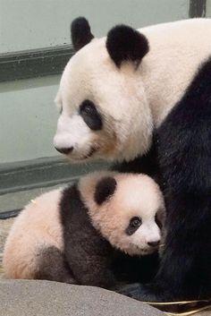 母親のシンシン(上)に寄り添うシャンシャン=20日、東京・上野動物園(東京動物園協会提供)