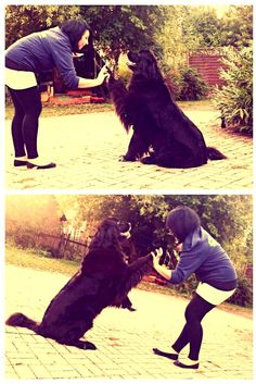 Neufundländer Wynia Gimme 5! Schlag ein Baby   #Hundename: Wynia / Rasse: #Neufundländer      Mehr Fotos: https://magazin.dogs-2-love.com/foto/neufundlander-wynia-7/ Foto, Hund