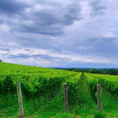 Bright green rows in a vineyard, near Ditchling Beacon..