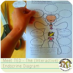 TED is an Interactive Endocrine System Graphic Organizer, a teddy bear filled with endocrine information - glands and hormones!