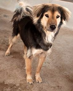 I am a survivor of the illegal dog meat trade… My name is Saab. Email cristy@soidog.org to ADOPT me. I was stolen for my meat as part of the illegal dog meat trade. Thanks to people like you, I was rescued by the Soi Dog Foundation - otherwise who knows what would have become of me? My name is Saab, a lovely girl, and I am approximately 4 years old.  http://www.soidog.org/en/adoptions/dog-meat-trade-dogs-for-adoption/saab/