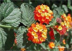 Plantas e Flores: Lantana e Nerium