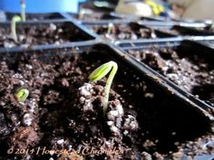 Baby apple trees...how to grow your own Apple tree from seed