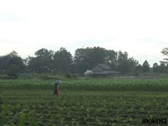 Rice paddies in the village of my mother