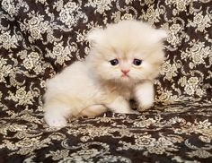 persian kittens for sale in Houston Texas Himalayan