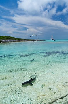 Shark Bait by gustaffo89 on Flickr. Sharks at Ship Channel Cay, Northern Exuma Isles, Bahamas
