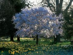 Yoshino Cherry trees grow quickly to 20 feet. The tree's beautiful bark and upright to horizontal branching make it ideal for planting along walkways and over patios. The white to pink flowers bloom in early spring in a glorious display.