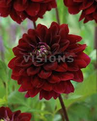 Image result for voodoo dahlia