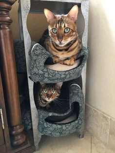 haring our love of cats with you! Cat care, cat toys, cat facts, and cat fun. Cat Condo, Cat Facts, Cat Toys, Cool Cats, Funny Gifts, Cat Lovers, Cute Animals, Cat Fun, Cat Stuff