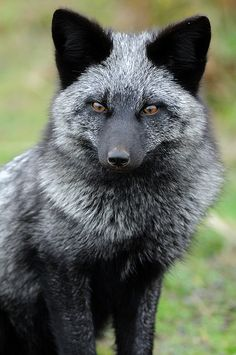 Red Fox - Melanistic - The Red Fox comes in varied shades of Red mingled with Gray hairs. If the Red Fox is Black.it is Melanistic and if it is a Piebald.it is Leucistic; if Albino.it would be Solid White with Pink Eyes. Nature Animals, Animals And Pets, Wild Animals, Strange Animals, Black Animals, Nature Nature, Wild Nature, Beautiful Creatures, Animals Beautiful
