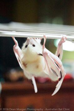 Leucistic grey headed flying fox at the Australian Bat Clinic Photo credit: Dean Morgan