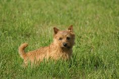 Norwich Terrier Information - Dog Breeds at thepetowners