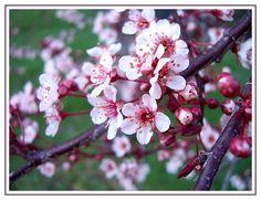 Flowering plum..how pretty!