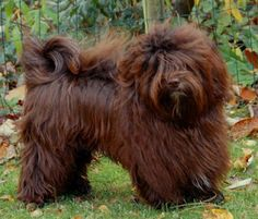 Chocolate Havanese.  I have never seen a chocolate one.  How beautiful.