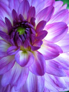 "justemoinue2: "" Dahlia Unfolded"""