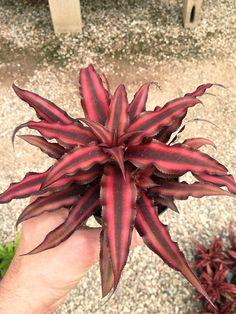Cryptanthus Bromeliad  Red Ruby Plant  Ea by DeltonaSeashells, $9.95