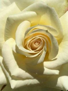 Yellow Roses, White Roses, Pink Roses, Beautiful Rose Flowers, Amazing Flowers, Rose Flower Wallpaper, Chocolate Roses, Rose Pictures, Rose Cottage