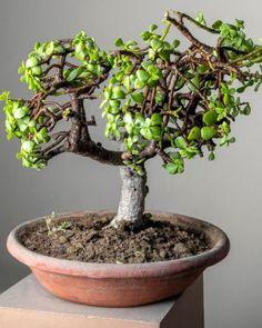Growing Succulents As Bonsais: Succulent Bonsai Care Tips Growing Succulents, Cacti And Succulents, Succulent Bonsai, Plants, Plant, Planets