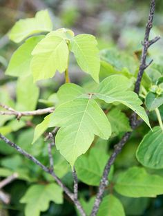 Keep your family itch-free by learning how to recognize poison ivy, poison oak, and poison sumac.