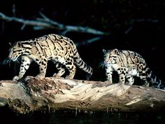 The clouded leopard (Neofelis nebulosa) found at the Himalayan foothills and has been classified as vulnerable in 2008 by IUCN. Its total population size is suspected to be fewer than 10,000 mature individuals. Clouded leopards are the most talented climbers among the cats. They can hang down from branches only by bending their hind paws and their tail around them. Little is known of the feeding ecology of clouded leopards. Their prey likely includes both arboreal and terrestrial…