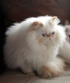 Flame Lynx Point Himalayan Persian