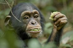 "#Chimpanzees! Interview with Bill Wallauer, from #Disney's #movie ""Chimpanzee"""