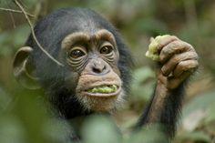 "#Chimpanzees! Interview with Bill Wallauer, from #Disney's #movie ""Chimpanzee"""