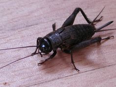 Superstition has it that it's very Bad Luck to kill a Cricket as ...