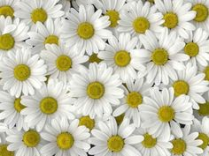 ✿.¸¸.ღღ ღ¸¸.✿.`❤✿.¸¸.ღ .¸¸.✿`❤✿.¸¸.ღ¸¸.✿.  Daisy, the most beautiful flower in the world :)