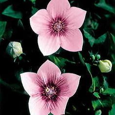 Well-branched, floriferous, long-lasting pink balloon flower-- Astra has it all!  20 pkg for 20 bucks
