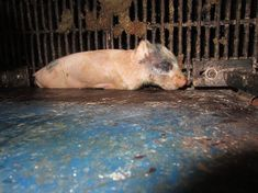 TIME TO SAVE ALL ANIMALS The image you see here, provided by Mercy For Animals, is just a small snapshot of the disgusting conditions animals are forced to endure at factory farms. Because of the filth, the animals are given antibiotics to prevent disease (which doesn't really work). Often, antibiotics are also given to promote unnatural growth. This in turn is making human illness harder to treat because of new strains of antibiotic-resistant bacteria.