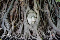 """【泰国奇遇】Ayutthaya。大城。""""树抱佛""""奇观的美丽传说。"""