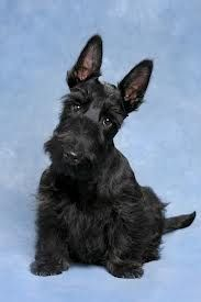 Suppose to be fairly hypoallergenic.  Love scotties!
