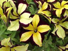 Crazytunia Star Jubilee Petunia