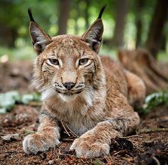beautiful-wildlife:  LynxbyRené Unger