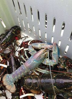 Rainbow lobster was discovered last year