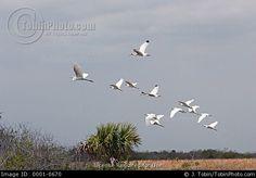wading bird paintings | flock of wading birds in flight over Florida wetlands.