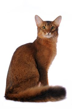 Cat That Looks Like A Fox 1000+ images abo...