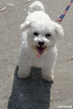 http://canined.com/dogs/wp-content/uploads/2012/05/bichon-frise-dog-haircut-smiling-picture.jpg