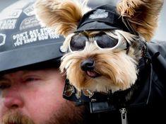 Pets on Wheels – Harley the Biker Dog