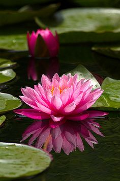 Red lotus flower summing in her habitat 3 flower roses flor de loto ms lotus flowerspink mightylinksfo Image collections