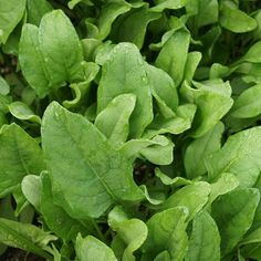 Buy Spinach Perpetual Seeds | Marshalls Seeds