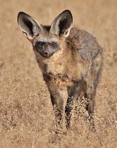 Bat-Eared Fox. Southern and eastern Africa