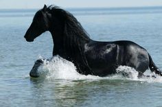 Beautiful Black Horse Heavily Trotting Through the Water.