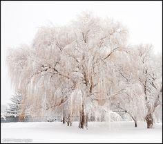 Snow on the Willow tree, Middleton WI