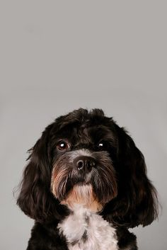 Jessie the Cavapoo. Pet photography in Milton Keynes: http://www.bt-photography.co.uk/dogs