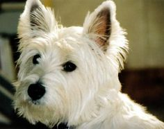 westie-jack russell mix