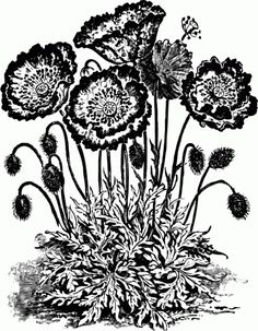 Vintage Poppy Flower Black and White Clip Art - Click for larger printable picture